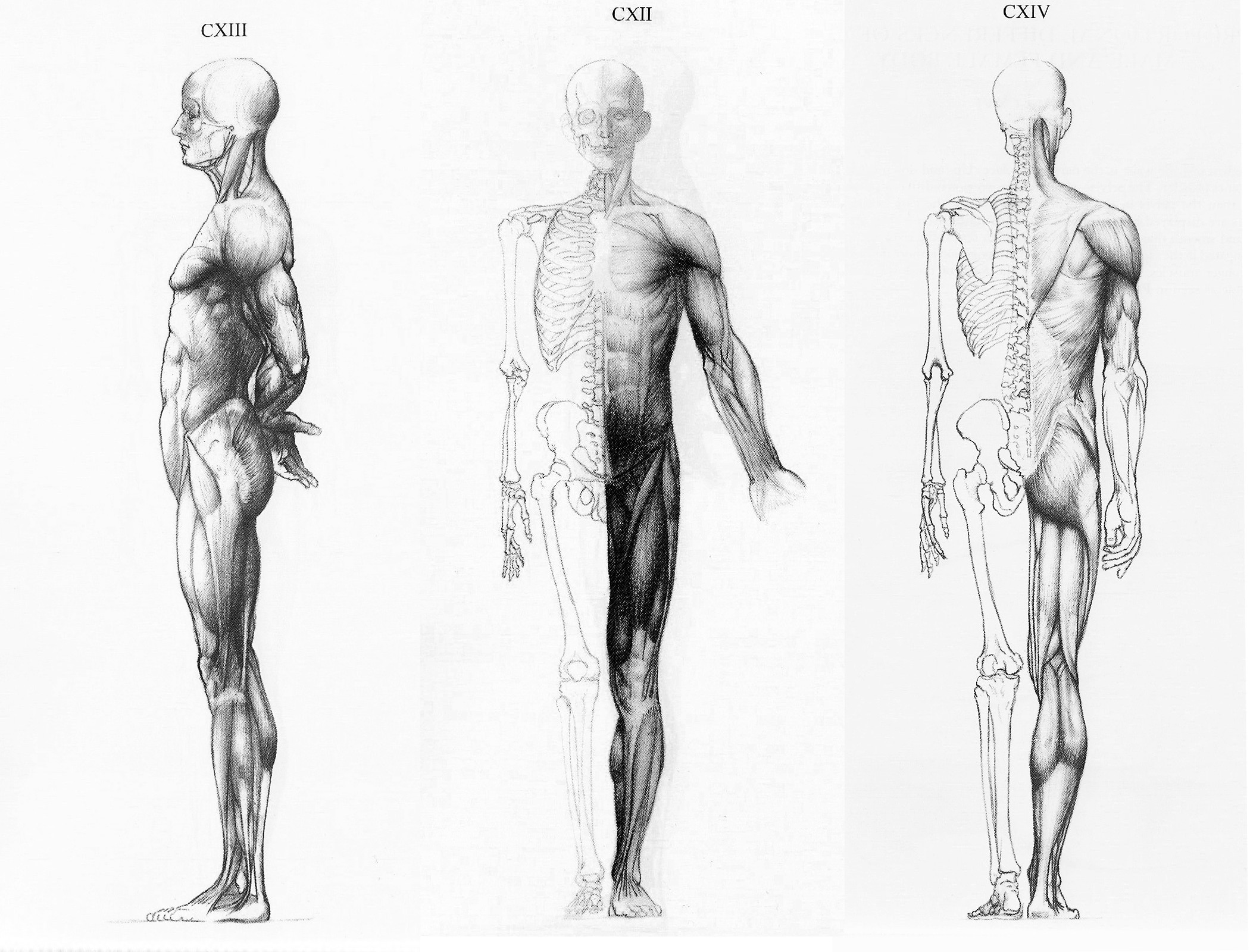 Human Anatomy references for 3d artists - 3D Modeling Forum